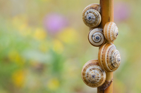 Brown-lipped / Grove / Banded snails (Cepaea nemoralis) on p