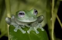 White-spotted leaf frog (Cochranella albomaculata) captive,  20070001205| 写真素材・ストックフォト・画像・イラスト素材|アマナイメージズ