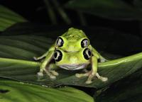 Lemur leaf frog (Hylomantis lemur) mating pair, captive, Cri 20070001206| 写真素材・ストックフォト・画像・イラスト素材|アマナイメージズ