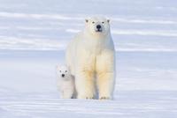 Polar bear (Ursus maritimus) sow with her  cub outside their