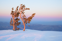 Two Limber Pine trees (Pinus flexilis) lit by the low sun, o