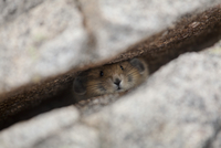 Pika (Ochotona genus) portrait peering from within granite c