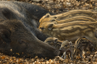 Wild boar (Sus scrofa) female with piglets from two differen