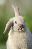 Mini lop-eared domestic rabbit with one ear up and one ear d