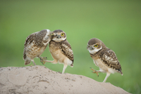 Two newly fledged burrowing owl chicks (Athene cunicularia)