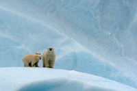 Polar bear (Ursus maritimus) female and her two cubs on an i