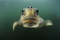 Female Olive ridley sea turtle (Lepidochelys olivacea) swimm