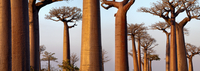 Boabab trees {Adansonia grandidieri} in evening light. Moron
