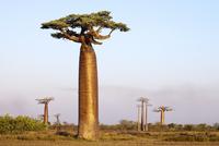 Boabab trees {Adansonia grandidieri} in evening light. Moron 20070001286| 写真素材・ストックフォト・画像・イラスト素材|アマナイメージズ