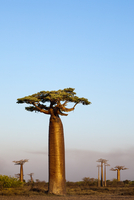 Boabab trees {Adansonia grandidieri} in evening light. Moron 20070001287| 写真素材・ストックフォト・画像・イラスト素材|アマナイメージズ