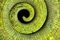Close up of coiled tail of Parson's chameleon {Calumma parso