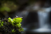 Madagascar reed frog {Heterixalus madagascariensis} in front 20070001291| 写真素材・ストックフォト・画像・イラスト素材|アマナイメージズ
