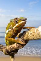 Panther Chameleon {Furcifer pardalis} climbing along branch  20070001292| 写真素材・ストックフォト・画像・イラスト素材|アマナイメージズ
