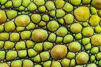 Panther Chameleon {Furcifer pardalis} close-up of skin, gree 20070001294| 写真素材・ストックフォト・画像・イラスト素材|アマナイメージズ