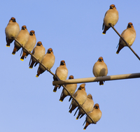 Small flock of Waxwings (Bombycilla garrulus)perched on a h