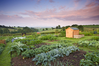 Vegetables growing on a rural allotment, Morchard Bishop, De