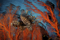 Lionfish (Pterois) hovering in a Sea Fan in a view looking t