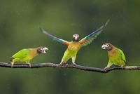 Three Brown-hooded Parrots (Pyrilia haematotis) one taking o