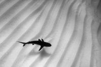 A lone Caribbean reef shark (Carcharhinus perezi) cruises ov