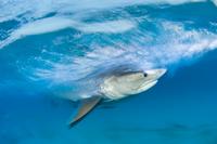 Long exposure image of Tiger shark (Galeocerdo cuvier) chasi