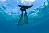 Two Atlantic spotted dolphins (Stenella frontalis) over a sh