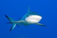 Caribbean Reef Shark (Carcharhinus perezi) portrait in blue