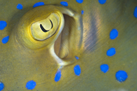 Eye and spiracle detail of a Bluespotted / Ribbontail Stingr
