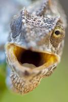 Warty chameleon (Chamaeleo verrucosus) portrait with mouth o