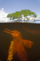 Split level view of Amazon River Dolphin / Boto (Inia geoffr