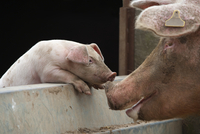 Domestic pig, free range sow and piglet sniffing noses, UK,