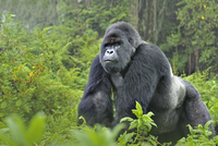 Mountain gorilla (Gorilla beringei) silverback in Susa group
