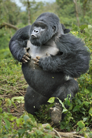 Mountain gorilla (Gorilla beringei) silverback beating chest