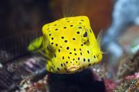 Juvenile Yellow boxfish / Cube trunkfish (Ostracion cubicus) 20070001425  写真素材・ストックフォト・画像・イラスト素材 アマナイメージズ