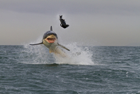 ホホジロザメ 20070001475  写真素材・ストックフォト・画像・イラスト素材 アマナイメージズ