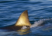 Great white shark (Carcharodon carcharias) with dorsal fin s