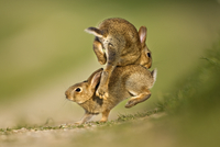 Two European Rabbit (Oryctolagus cuniculus) young playing an