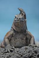Marine Iguana (Amblyrhynchus cristatus) with friendly Lava L 20070001485| 写真素材・ストックフォト・画像・イラスト素材|アマナイメージズ