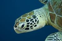Green turtle (Chelonia mydas) portrait. Sipadan Island, Semp