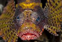 Yellow Shortfin lionfish (Dendrochirus brachypterus) face. L