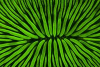 Fluorescent coral viewed under UV light, Misool, Raja Ampat,