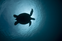Green turtle (Chelonia mydas) silhouetted against the sun. S