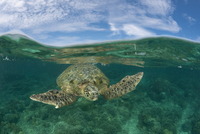 Split-level shot of Green turtle (Chelonia mydas) in the ree