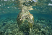 Mating Green turtles (Chelonia mydas) in the reef shallows.