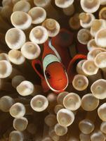 True clownfish / Clown anemonefish (Amphiprion percula) hidi