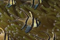Schooling Banggai cardinalfish in anemone tentacles. (Pterap 20070001517  写真素材・ストックフォト・画像・イラスト素材 アマナイメージズ
