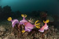 Nudibranchs (Hypselodoris / Chromodoris bullocki) mating and