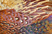 Close up of feathers of cock Pheasant (Phasianus colchicus).