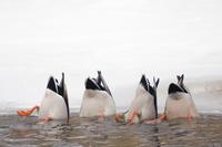 Four Mallard (Anas platyrhynchos) dabbling for food in icy w