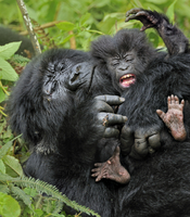 Mountain Gorilla (Gorilla beringei) adult playing with an in