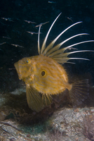 John Dory (Zeus Faber) with Pipefish spawn. Channel Islands,